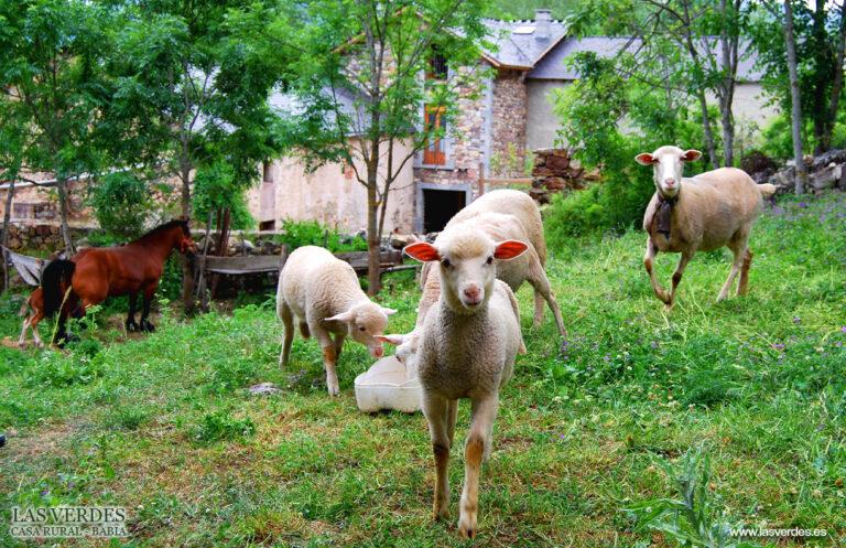 casa-rural-las-verdes-oveja-trashumante